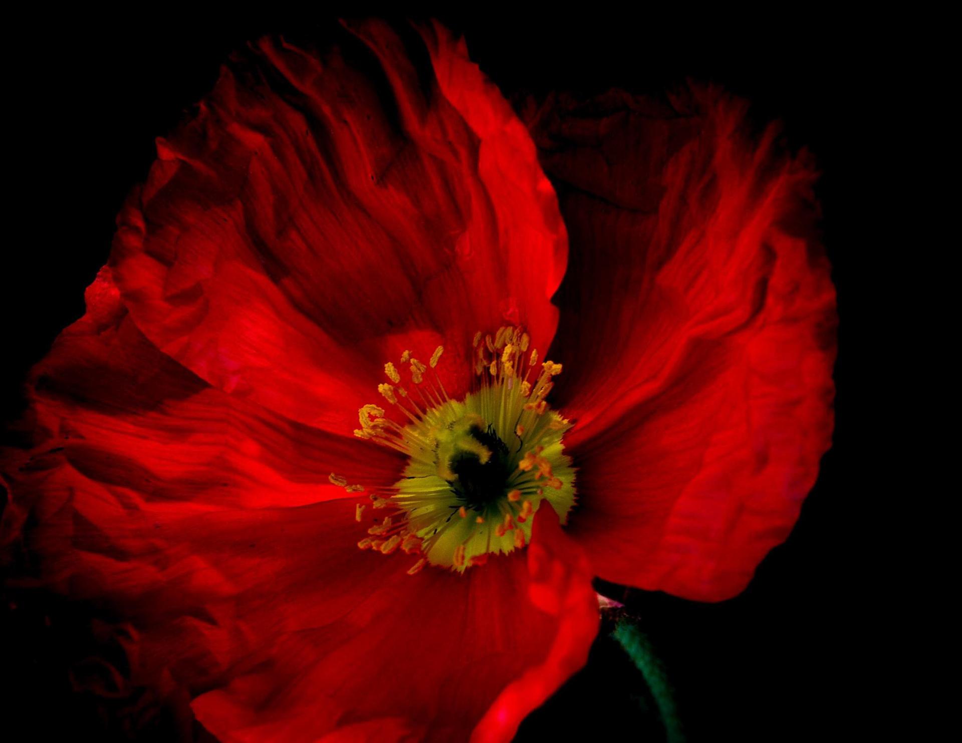 Mary Beth Ponitz, Red Poppy