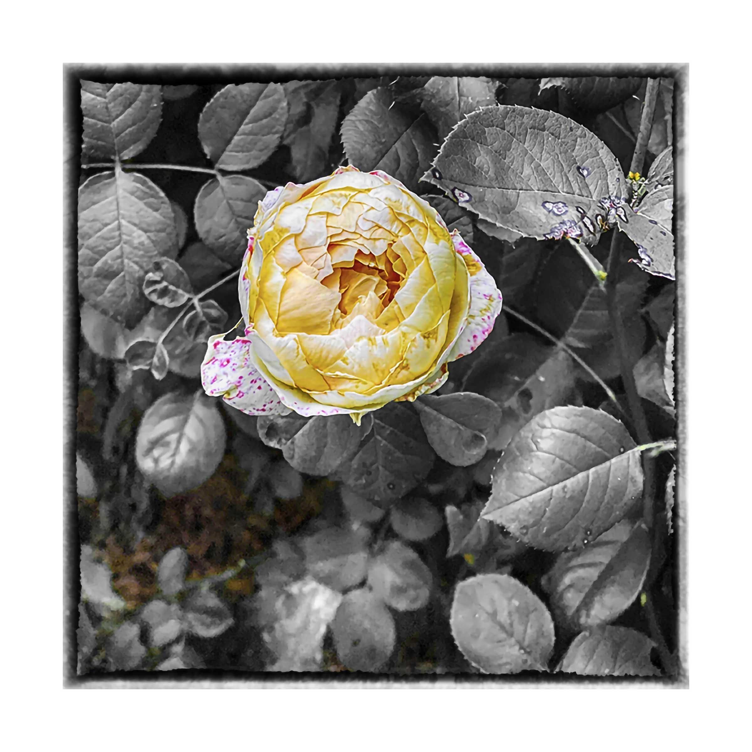 R Thomas Berner, Rose